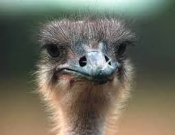 ostrich-head-images